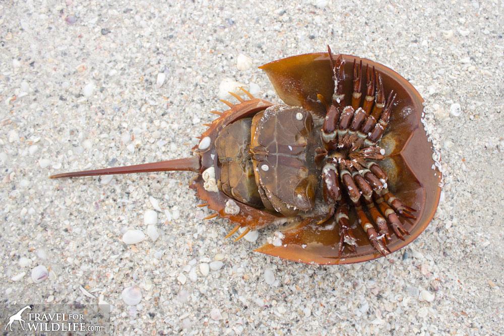bottom side of a horseshoe crab, Sanibel Island, Florida