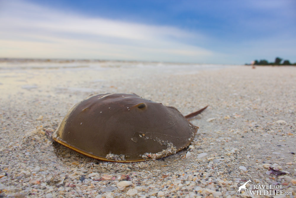 Horseshoe crab on the beach in Sanibel Island, Florida