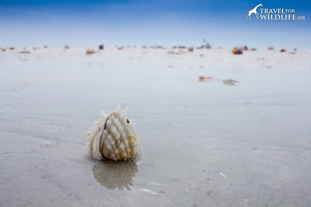 Living Spiny Jewel Box shell washed up on the beach in Sanibel Island, Florida