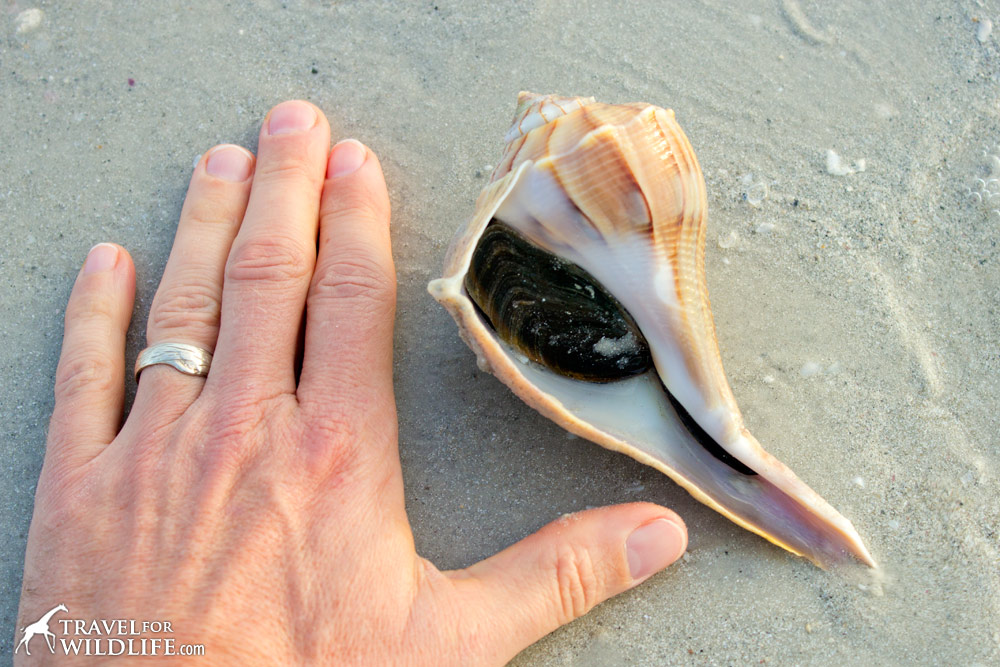 living Lightning Whelk sea shell, Sanibel Island, Florida