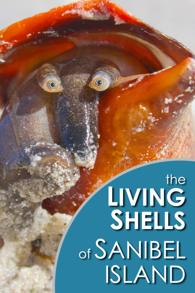 the living shells of Sanibel Island, photo gallery. A virtual shell collection