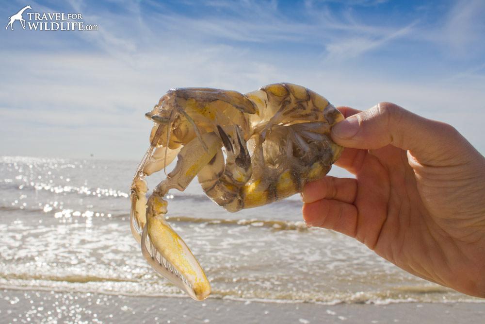 A living Mantis Shrimp on Sanibel Island, Florida