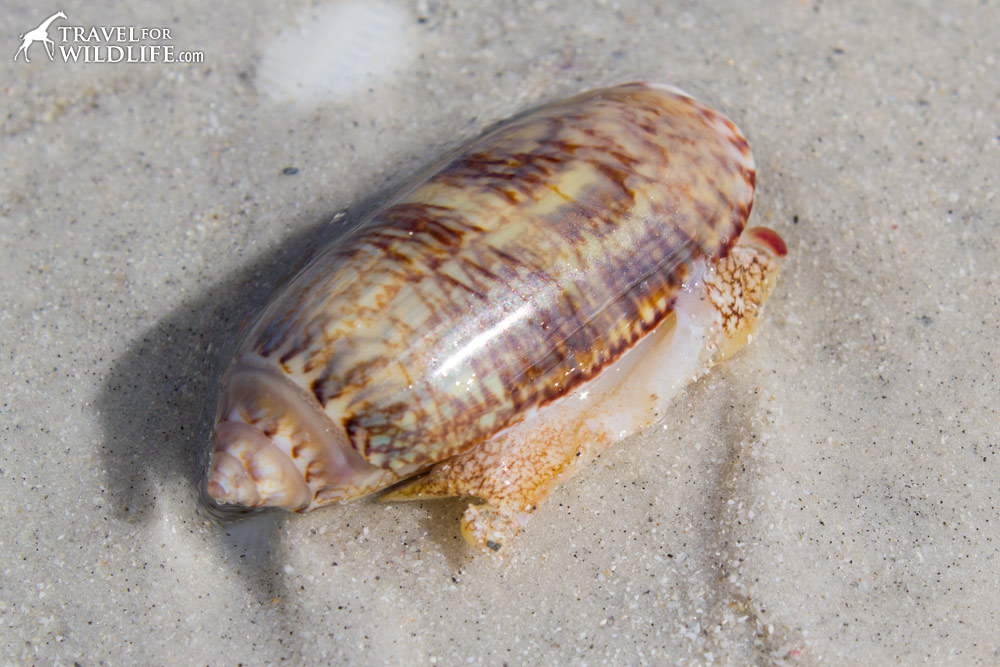a living Lettered Olive shell on Sanibel Florida