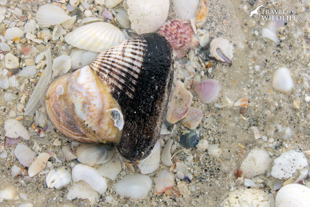 A live Ponderous Ark shell with a stack of Slipper Shells on it, Sanibel Island, Florida