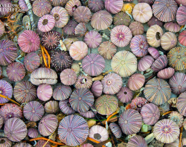 How to tell if sea urchins are alive or dead
