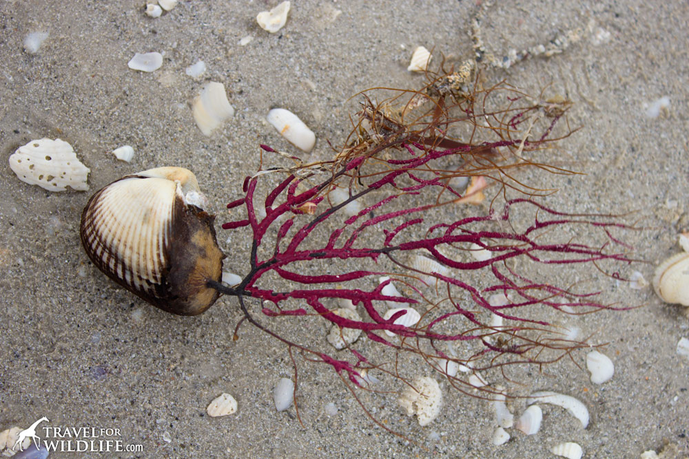 a purple coral called a sea whip attached to the shell of a Ponderous Ark on Sanibel Island
