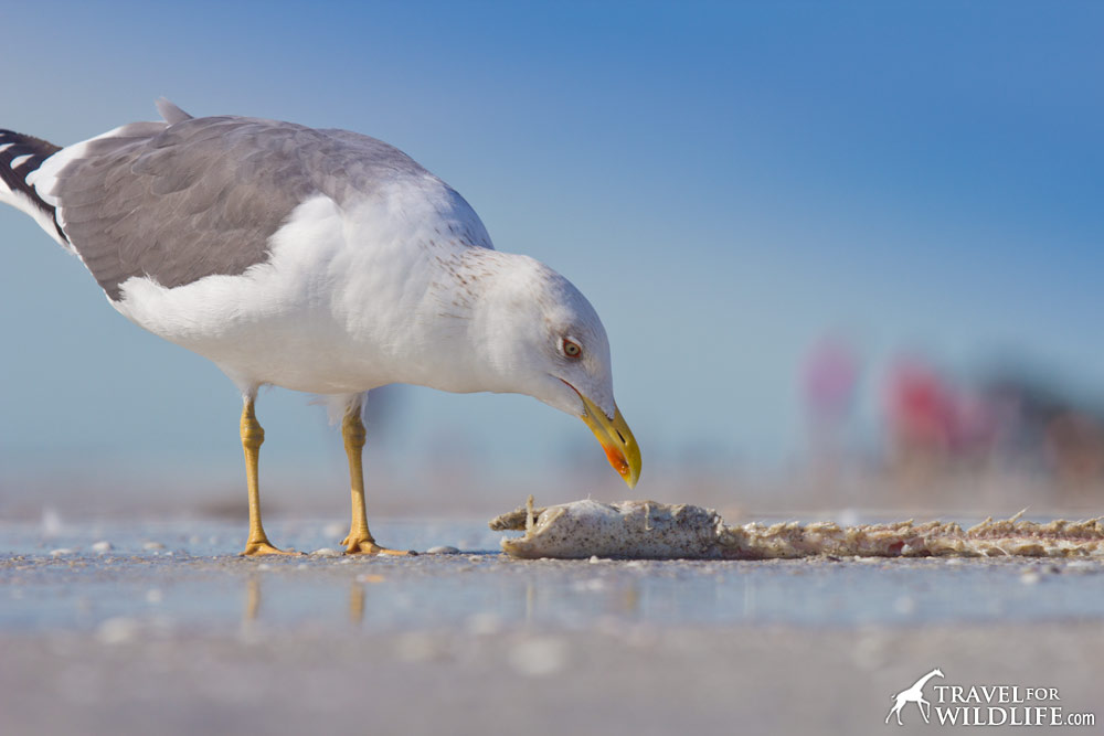 A sea gull eating a dead eel on Sanibel Island, Florida