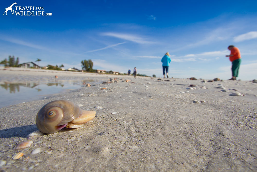 a live shark's eye shell on Sanibel Island, Florida