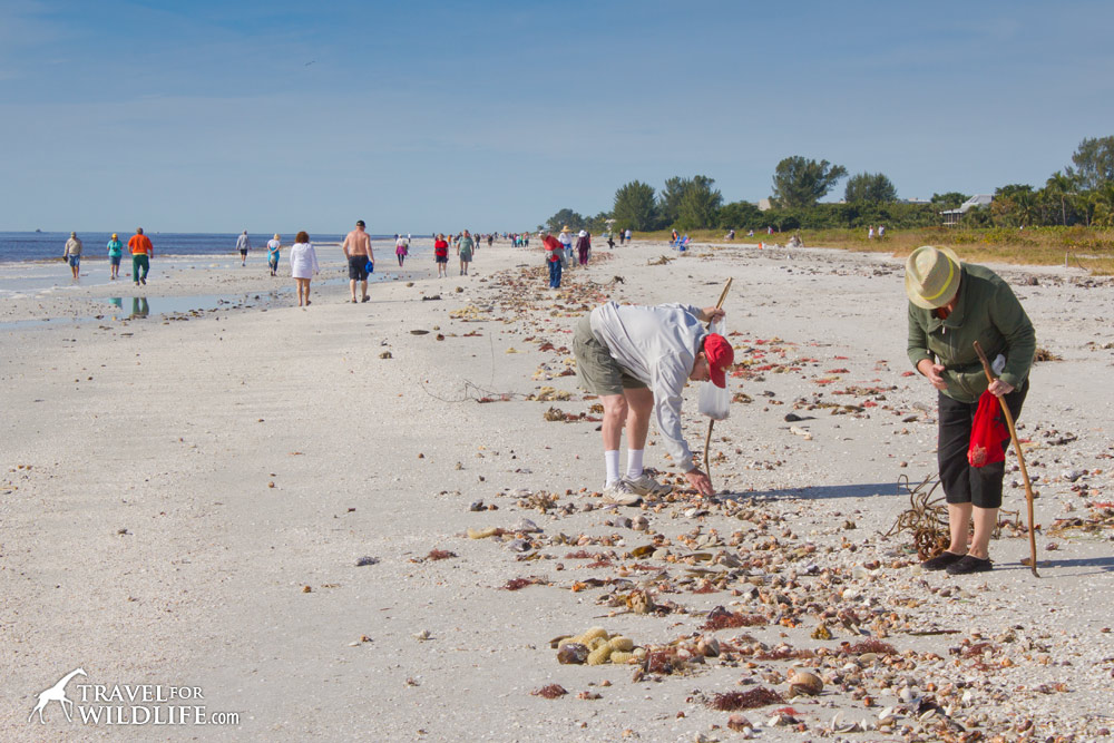 shell collectors collecting shells on Sanibel Island, Florida