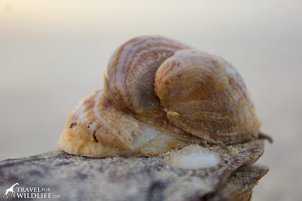 A stack of living Slipper Shells on Sanibel Island, Florida
