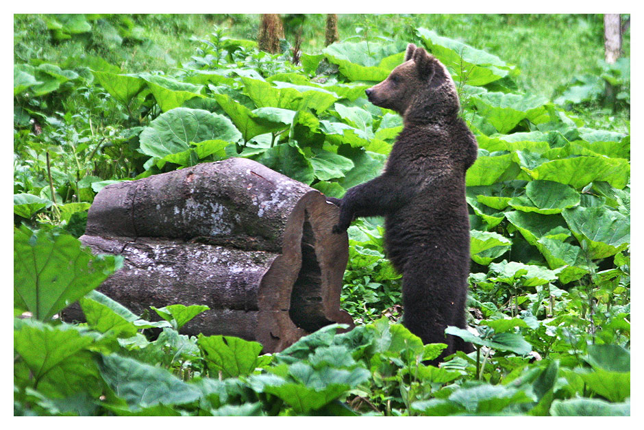 A brown bear cub standing on two leags