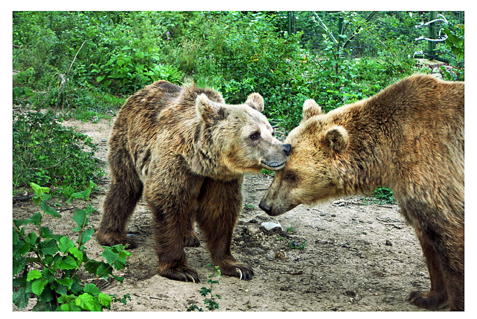 A brown bear and a cub in Romania