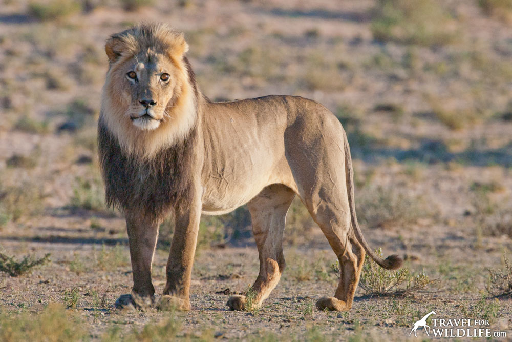 A lion in the Kalahari, South Africa