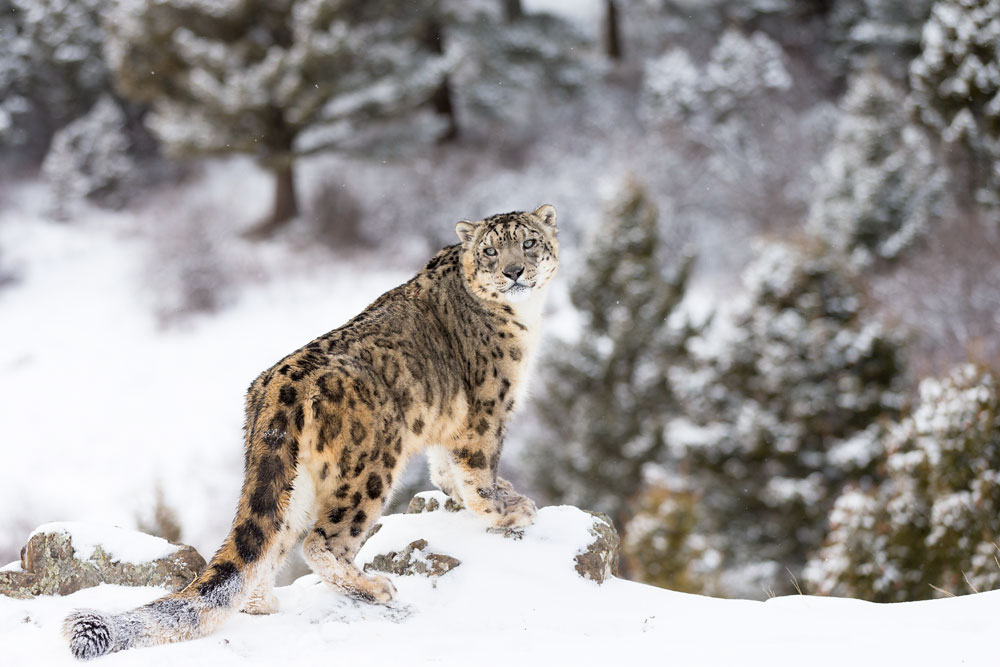 Search for snow leopard in India