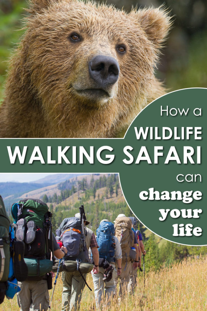 If you love watching wildlife then a walking wildlife safari may be your dream vacation!