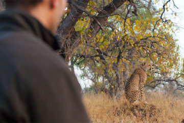Watching cheetahs on a walking safari  in South Africa