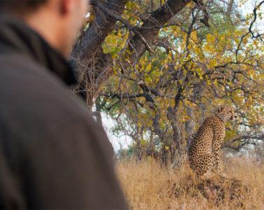 Watching cheetahs on a walking safari  in South Africa