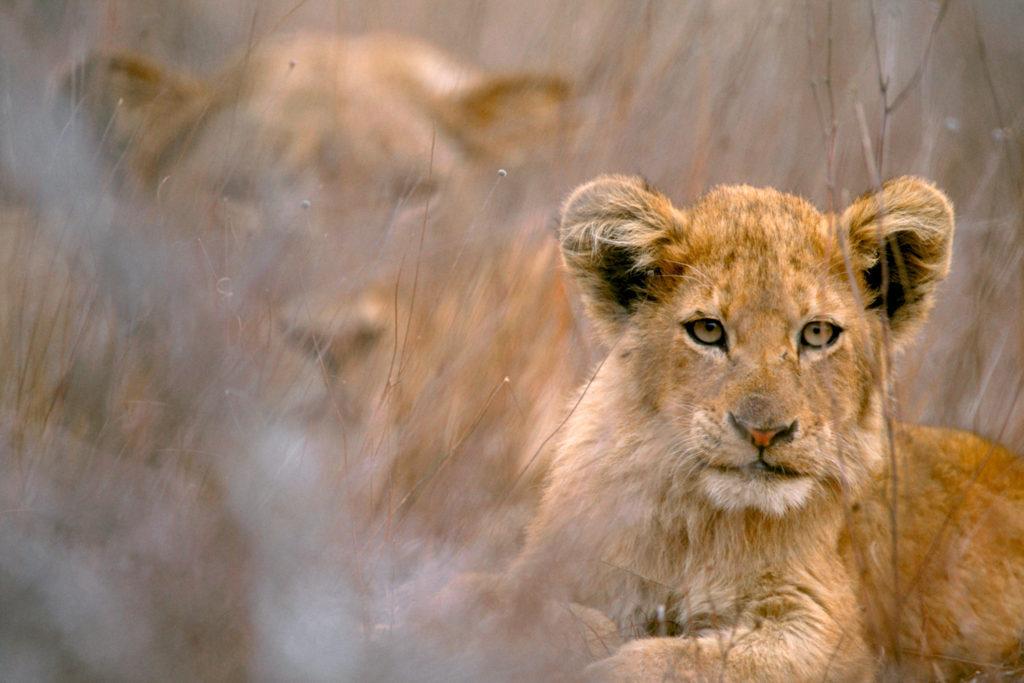 003-lion-cub