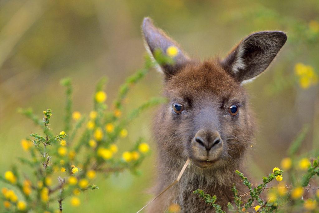 010-kangaroo