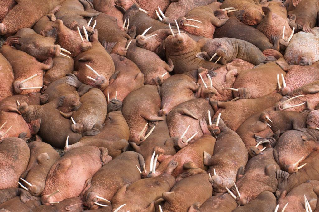 012-walrus