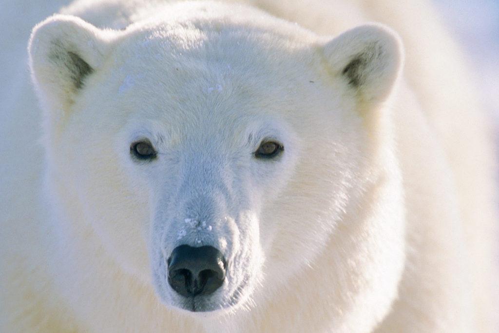 Polar Bear (Ursus maritimus) Churchill, Manitoba, Canada © Hal Brindley