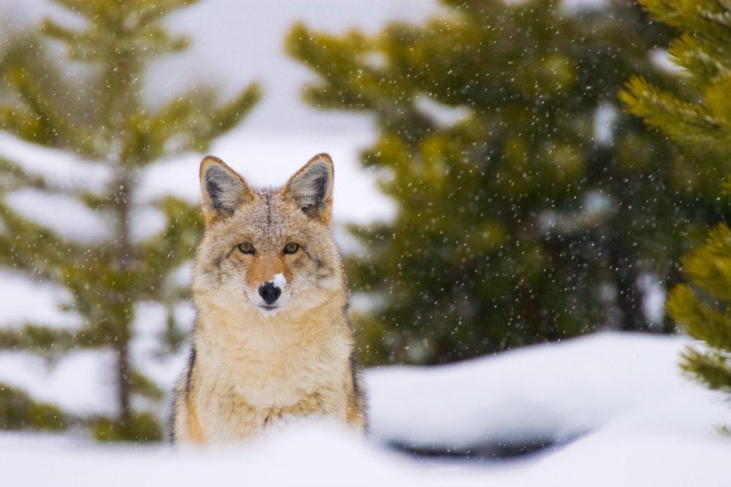 022-coyote