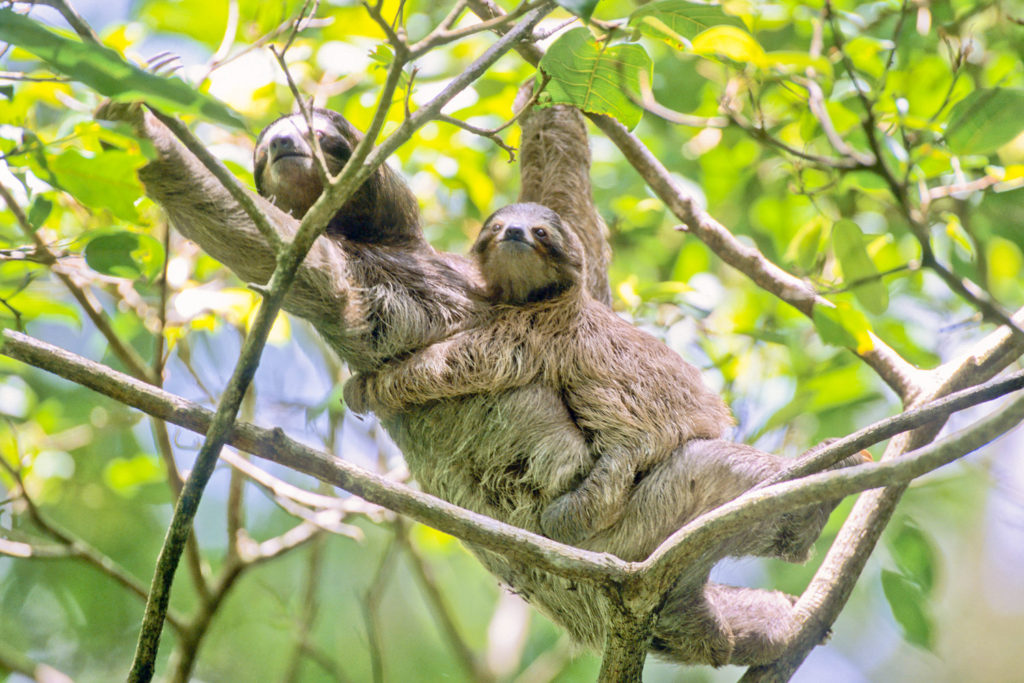 Three-toed Sloth (Bradypus variegatus), female and baby. Cahuita National Park, Costa Rica © Hal Brindley