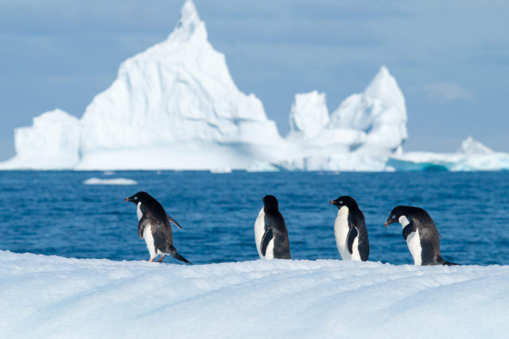Adelie Penguin (Pygoscelis adeliae) on a bergy bit. Grandidier Channel, Antarctic Peninsula, Antarctica. © Hal Brindley .com