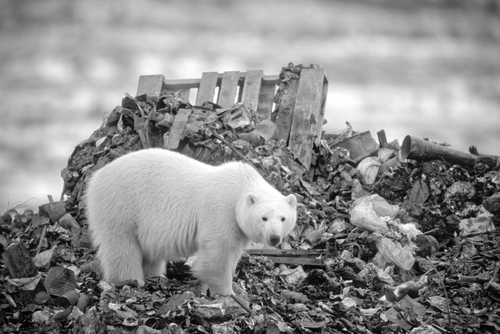 Polar Bear (Ursus maritimus) at dump. Churchill, Manitoba, Canada © Hal Brindley