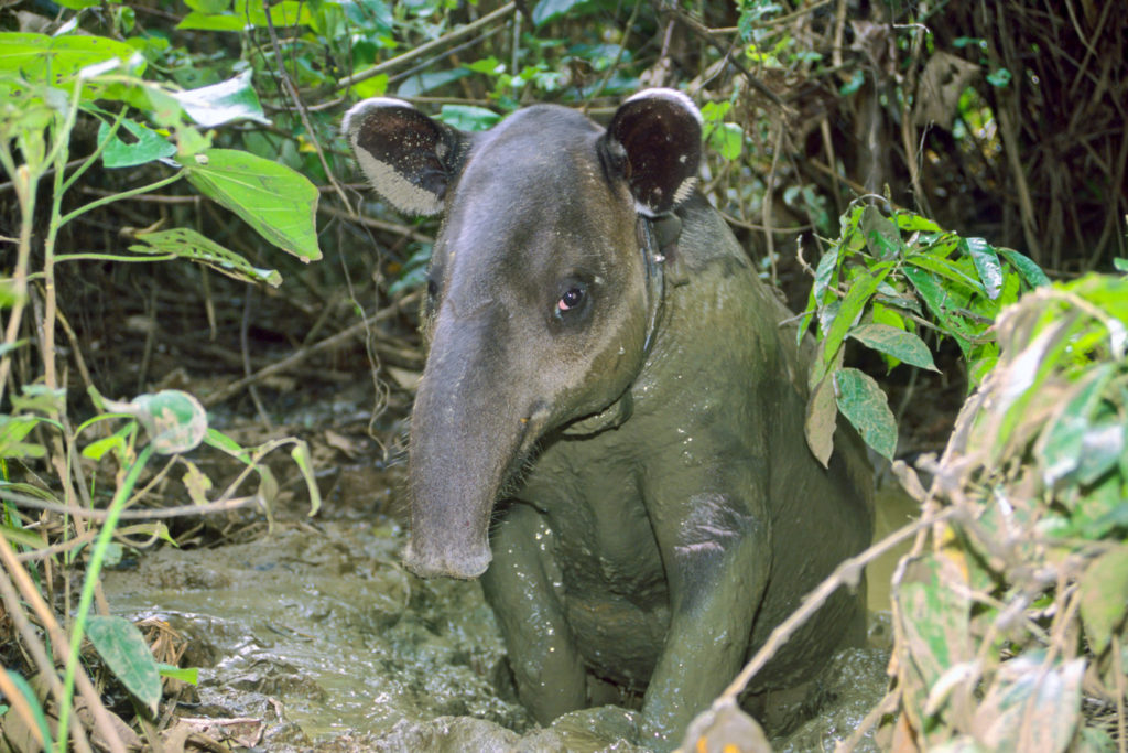 Baird's Tapir (Tapirus bardii), radio-collared for a study, standing in mud. Corcovado National Park, Osa Peninsula, Costa Rica © Hal Brindley
