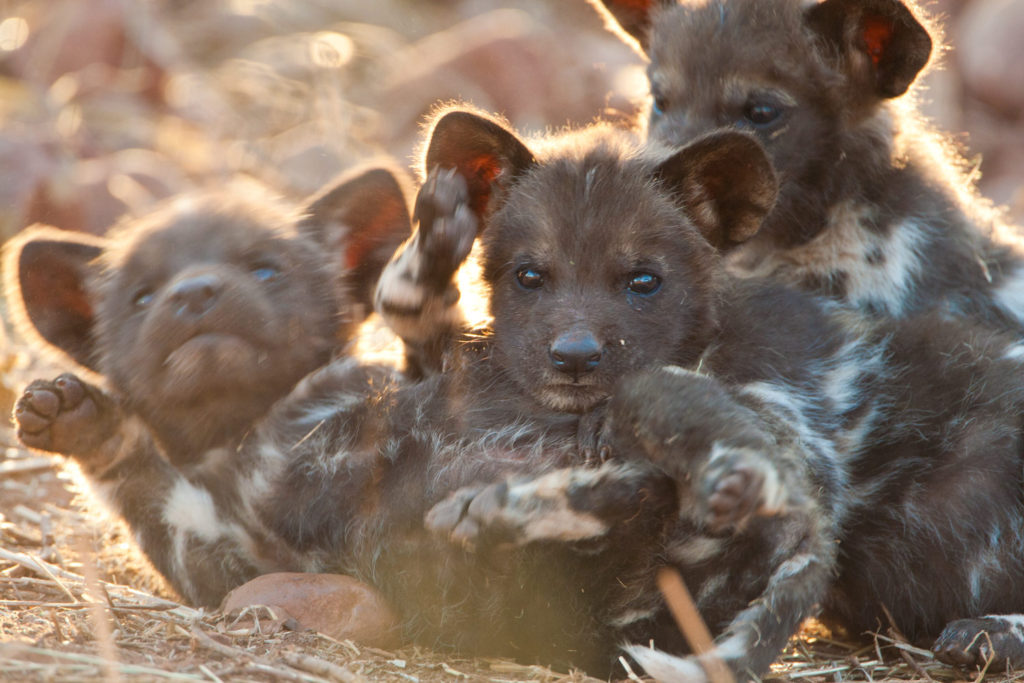 African Wild Dog puppies, KwaZulu Natal, South Africa. © Hal Brindley