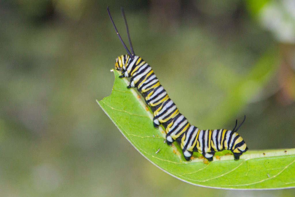 042-monarch-caterpillar