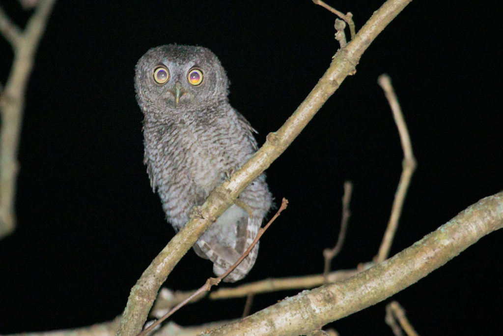 046-screech-owl