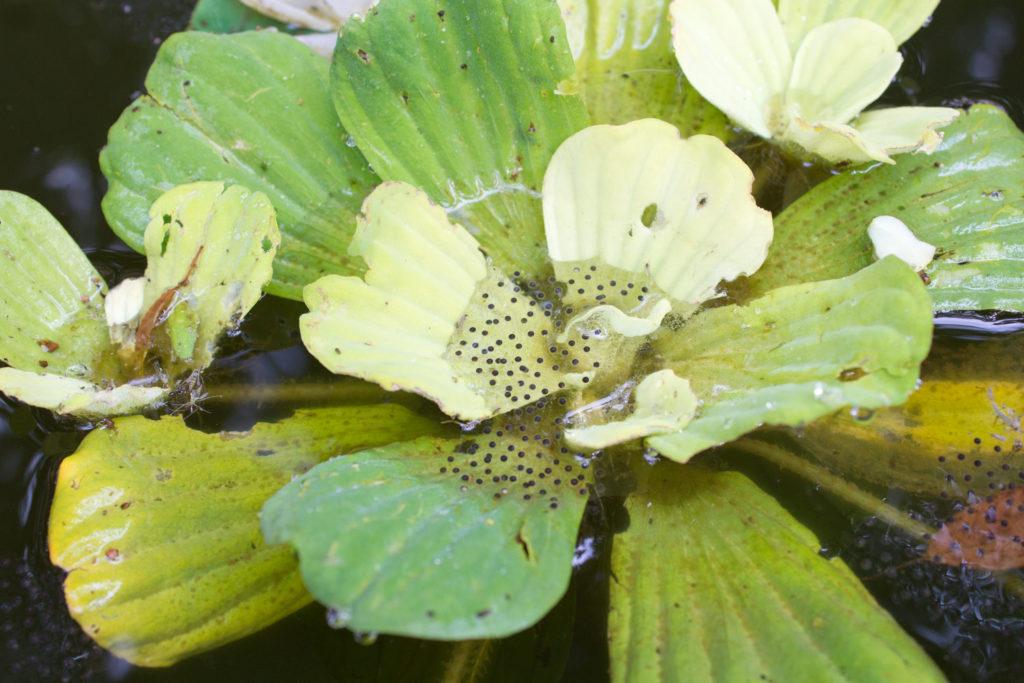 051-frog-eggs