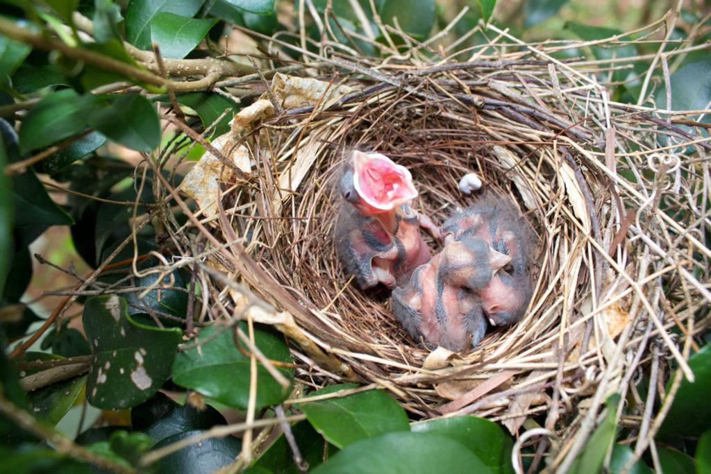 053-baby-birds