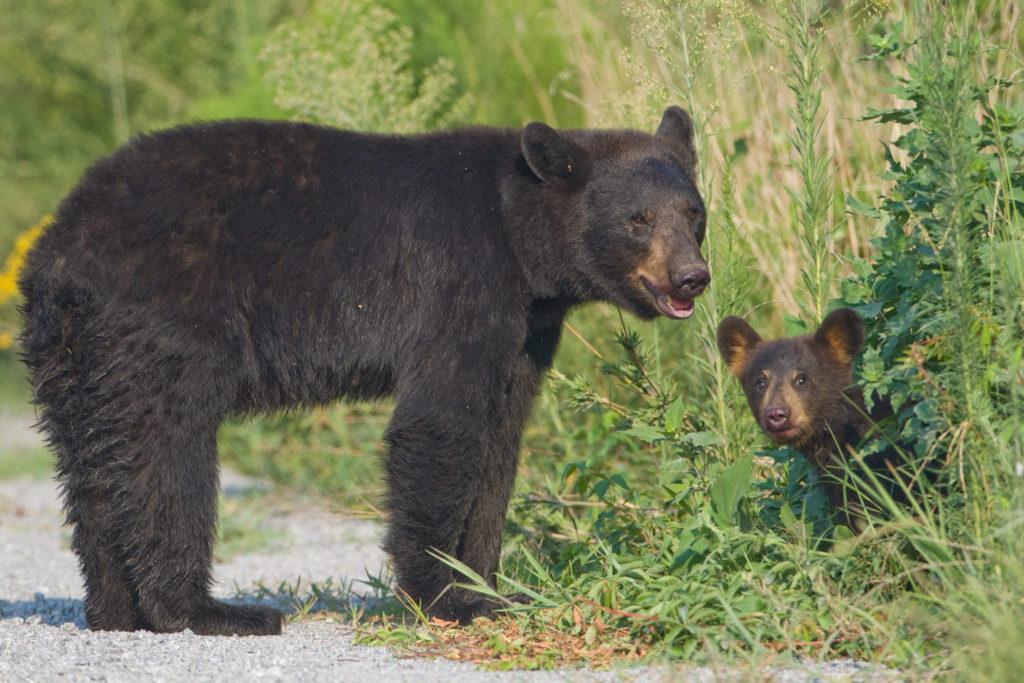 055-black-bear-cub
