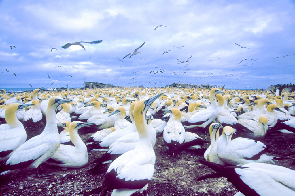 Cape Gannet colony (Morus capensis aka Sula capensis) Bird Island Lambert's Bay South Africa © Hal Brindley