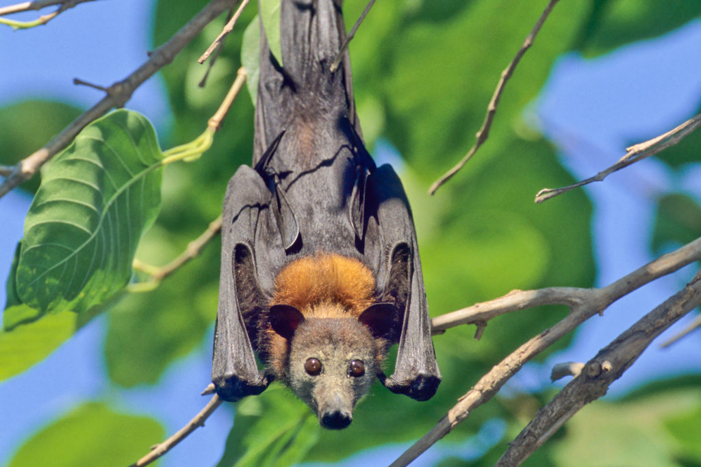 Little Red Flying Fox (Pteropus scapulatus) Low Level Bridge NR, Northern Territory, Australia ©Hal Brindley