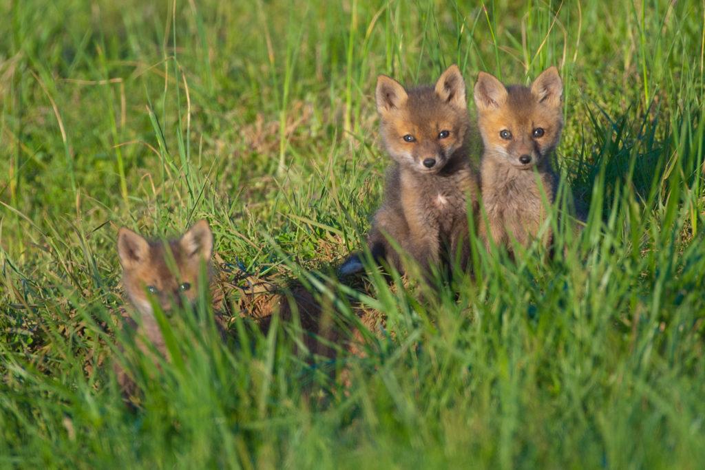 069-fox-pups