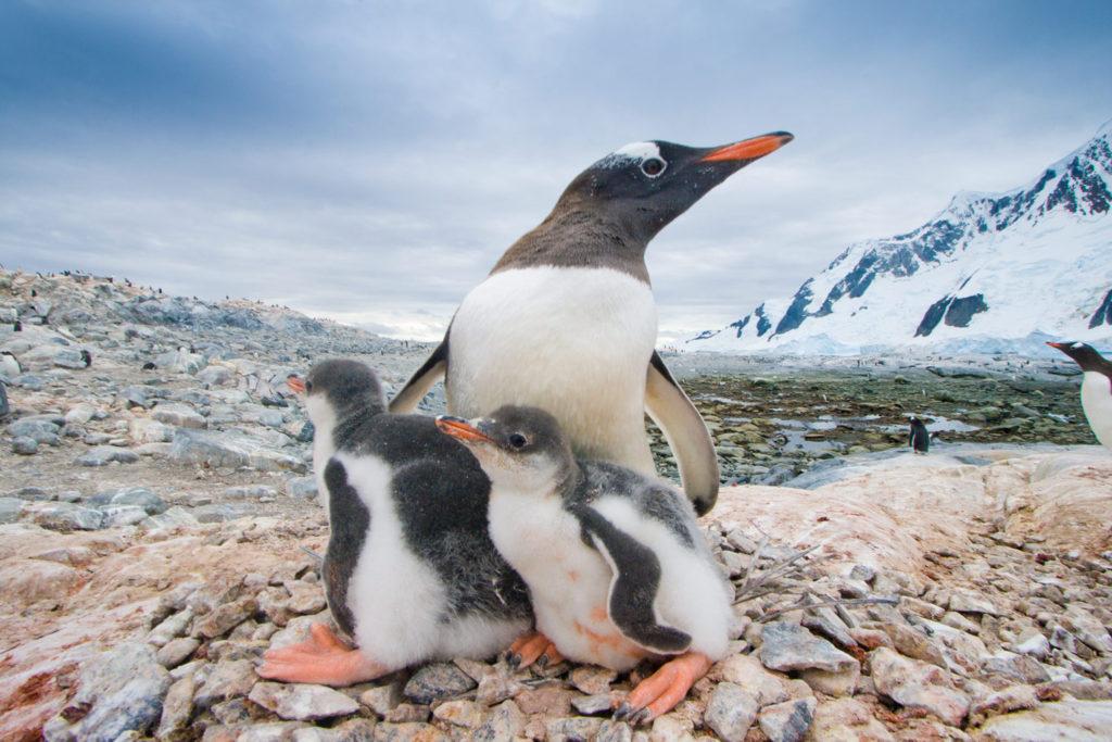 Gentoo Penguin (Pygoscelis papua). Pleneau Island, Antarctic Peninsula, Antarctica. © Hal Brindley .com
