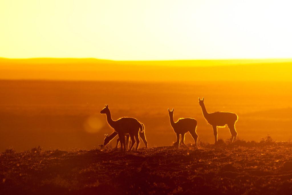 Guanaco (Lama guanicoe). Tierra del Fuego, Chile. © Hal Brindley .com