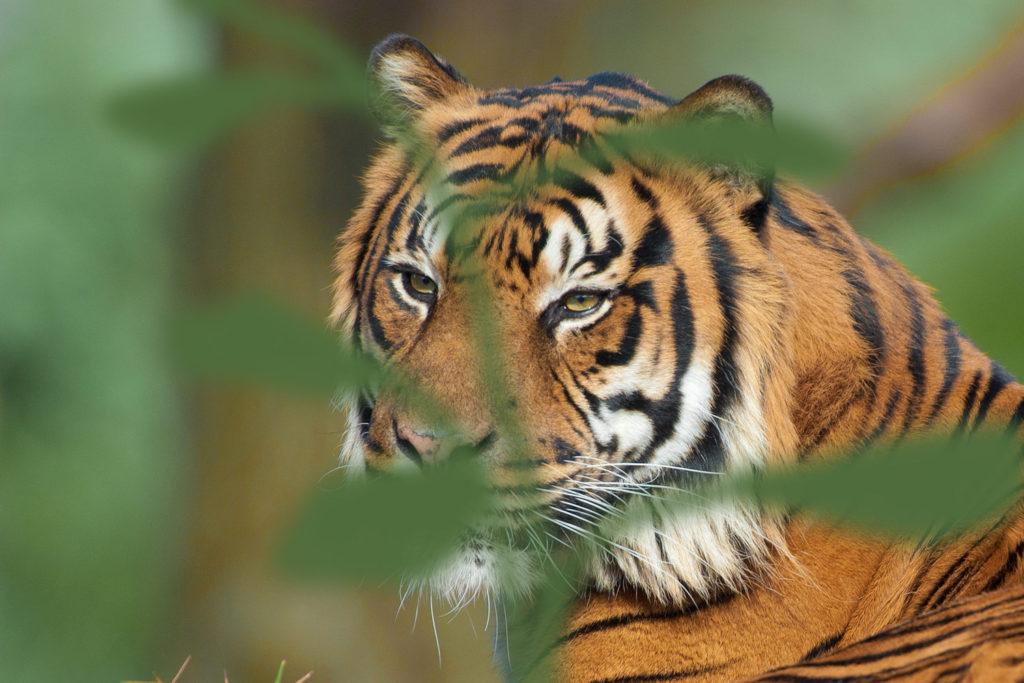 081-tiger-leaf