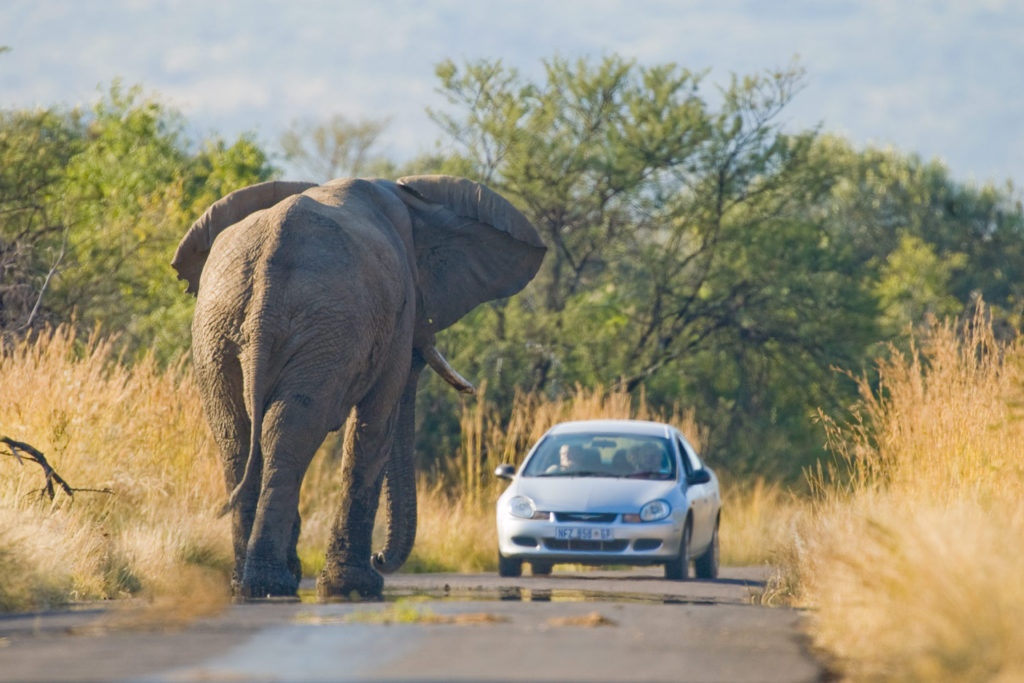 African Elephant (Loxodonta africana) standing in road in Pilanesberg National Park South Africa © Hal Brindley