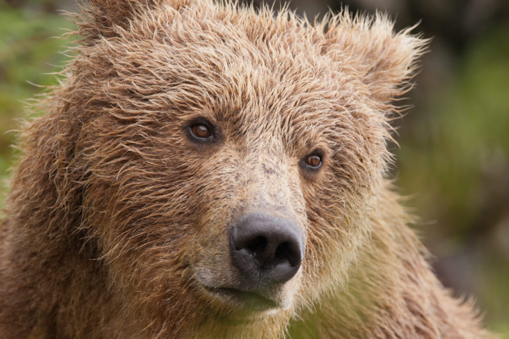 Watch grizzly bears in Yellowstone