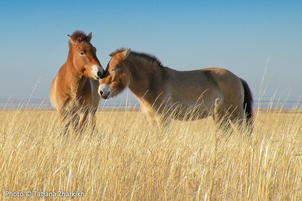 Aven and Lavender, Przewalski's Horses mating ritual, Preduralskaya Steppe, Orenburg Reserve, Russia