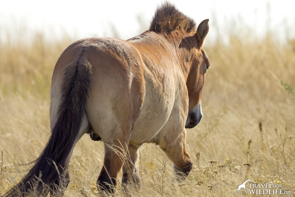 the tail of a Przewalski's Horse, Aven the stallion at Preduralskaya Steppe, Orenburg Reserve, Russia