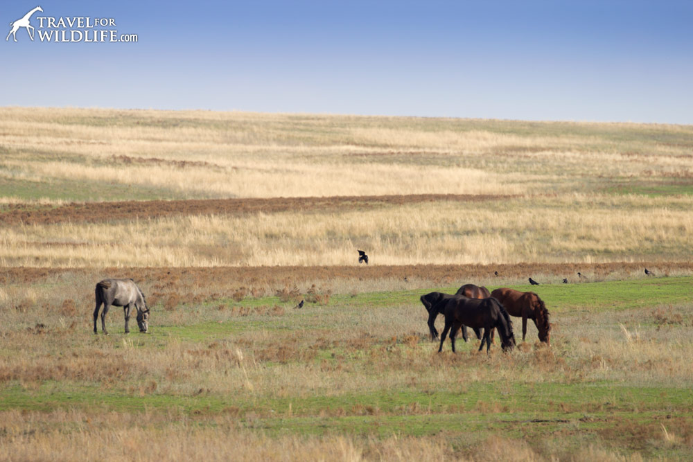 Domestic horses near the Orenburg Reserve, Russia