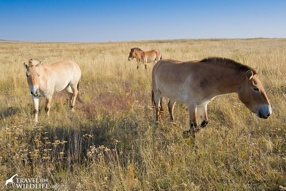 Przewalski's Horses in the Preduralskaya Reserve, Orenburg, Russia