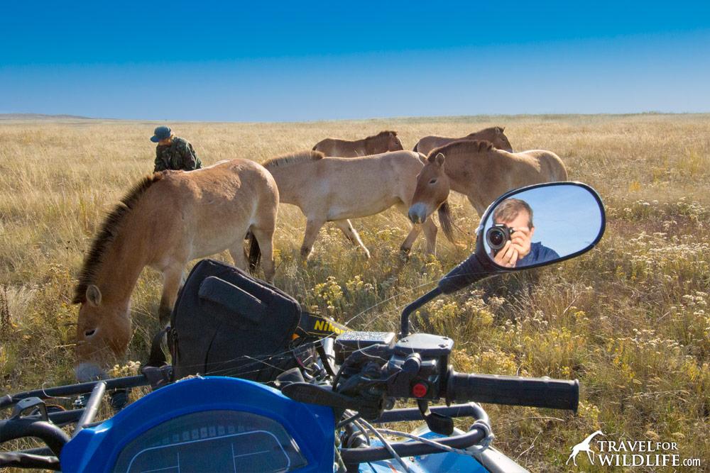 Tatjana Zharkikh spreading oats for Mongolian Wild Horses, in Pre-Ural Steppe, Orenburg, Russia