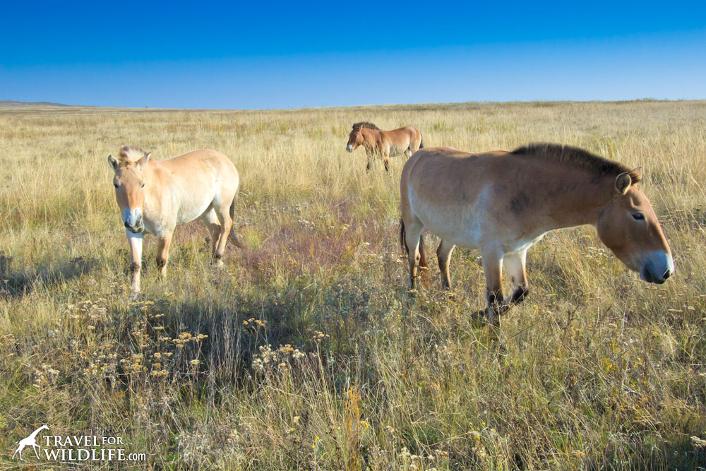 Olive and Sangria, two to of the Przewalski's Horses just released in the Orenburg Reserve, Russia